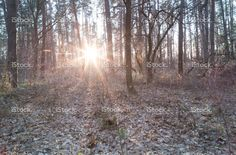 Sunset behind trees in the forest.  #forest #sun #sunset #trees #istock #nature #日没