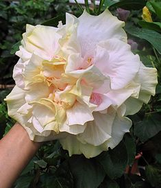 Hibiscus 'Bride's Bouquet'
