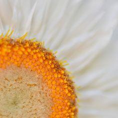 Macro : Appie Bonis Dandelion, Artist, Flowers, Plants, Inspiration, Biblical Inspiration, Dandelions, Artists, Plant