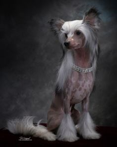 Chinese Crested Puppies For Sale, chinese crested dog, chinese crested breeders, cedar frost, cedarfrost