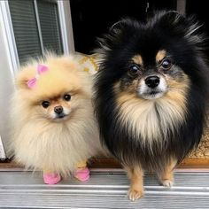 Two sweet Pomeranians. (I like the bow and shoes. ) #pomeranian
