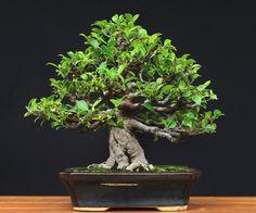 Wynik obrazu dla bonsai ficus retusa