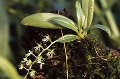 Cryptarrhena guatemalensis Schltr.