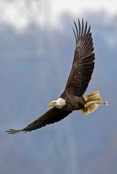 If we compare Golden eagle vs bald eagle then we got so many differences and similarities. Go further to know Bald eagle vs Golden eagle fight comparison- who will win the fight. All Birds, Birds Of Prey, Exotic Birds, Colorful Birds, Beautiful Birds, Animals Beautiful, Aigle Animal, Eagle Wallpaper, Eagle Drawing