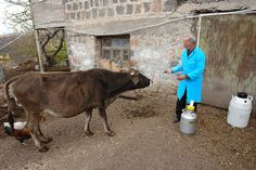Artificial insemination, Lusadzor community, Tavush region by UNDP in Europe and Central Asia, via Flickr