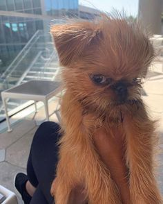 14 Funny Facts About Brussels Griffons Cute Little Animals, Cute Funny Animals, Brussels Griffon Puppies, Griffin Dog, Dog Pictures, Animals Beautiful, Dog Love, Animals And Pets, Cute Puppies