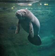 Manatees 9077 (Falcon) - Grahm S. Jones, Columbus Zoo and Aquarium   ...such gentle sea creatures...