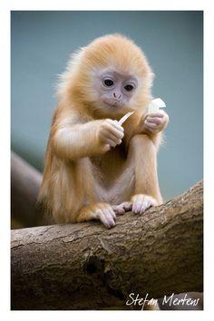 Baby leaf monkey (silvery langur) . Silvered+langoer+by+cRomoZone.deviantart.com+on+@deviantART