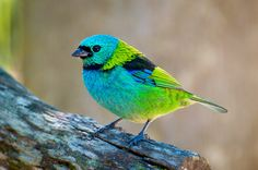 Green-headed Tanager. Saíra-sete-cores (Tangará seledon) -  Macho by Cláudio Timm, via Flickr.