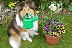 Collie dog holding a watering can & flowers Silly Dogs, Getting A Puppy, Collie Dog, Dog Rules, Pet Safe, Mans Best Friend, Best Dogs, Fur Babies, Funny Cats