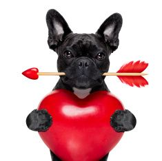 Find Valentines French Bulldog Dog Love Holding stock images in HD and millions of other royalty-free stock photos, illustrations and vectors in the Shutterstock collection. Cãezinhos Bulldog, Bulldog Puppies, Valentines Day Teddy Bear, Happy Valentines Day, Funny Dogs, Cute Dogs, Dog Grooming Shop, Dog Stock Photo, Pet Fox