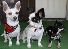 From the left: Boo boo, Bandit, Barney   My Dogs....All Chihuahua