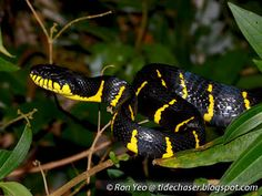 Gold-ringed Cat Snake (Boiga dendrophila)