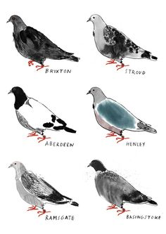alice tait, homing pigeons