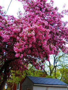 tree of pink by rosanne maccormick-keen, via Flickr