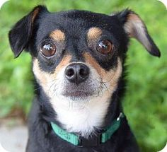 St. Petersburg, FL - Chihuahua. Meet Iggie, a dog for adoption. http://www.adoptapet.com/pet/11513853-st-petersburg-florida-chihuahua