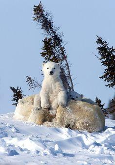 Baby Polar Bears, Cute Polar Bear, Cute Bears, Pictures Of Polar Bears, Cute Animal Pictures, Cute Baby Animals, Animals And Pets, Funny Animals, Wild Animals