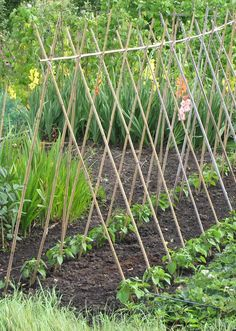 Trellis and beans, flowers behind