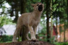 lonely Wolf, lonly Wolf, crying wolf, heulender Wolfswelpe, heulender Wolf, einsamer Polarwolf