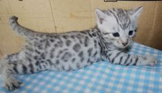 bengal kittens for sale ny | Cute Cats Pictures