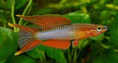 New Central African killifish described as Aphyosemion pamaense. Image: Rudolf Pohlmann, courtesy www.chromaphyosemion.be
