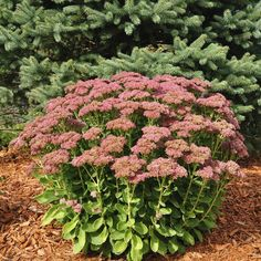 Sedum autumn joy. This is the plant I had in the garden. Hated it. It looked like broccoli most of the time until it flowered. Then it looked like broccoli with flowers lol