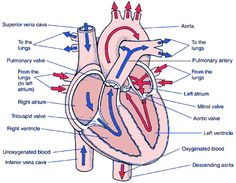heart blood flow path |  blood passes through the heart twice, Muscles