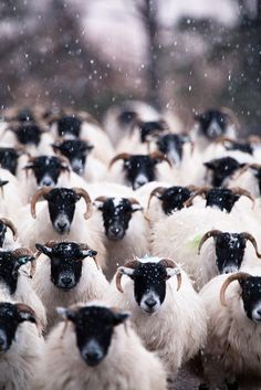 Highland sheep in snow