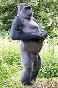 Kivu, a Western lowland gorilla, struck the unusual manly pose at Paignton Zoo, in Devon. The primate shares an enclosure with four other males and has been at the zoo nine years. Primates, Mammals, Animals And Pets, Baby Animals, Funny Animals, Cute Animals, Animal Memes, Monkey Pictures, Animal Pictures