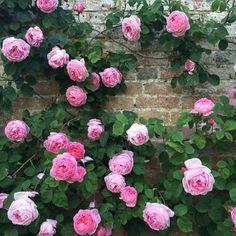 Roses in bloom, Mottisfont