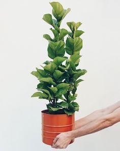 Ficus, Potted Plants, Indoor Plants, Fiddle Leaf Fig Tree, Plantar, Leaves, Green, Lira, Tattos