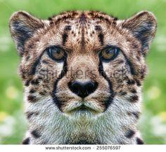 Cheetah Face Stock Photos, Royalty-Free Images & Vectors ...