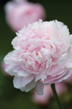 Peony 'Sarah Bernhardt' is sweetly scented, with pale-pink flowers, this is favoured by commercial cut flower producers. It's very productive and reliable and has good disease resistance and a good vase life.