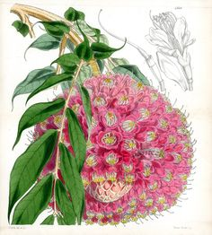 Brownea Grandiceps from Plants from Royal Garden of Kew by W.H.Fitch 1853-1871