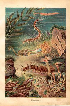 1885 sea worms original antique ocean marine animal print