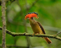 Foto maria-leque-do-sudeste (Onychorhynchus swainsoni) por Luiz Ribenboim | Wiki Aves - A Enciclopédia das Aves do Brasil