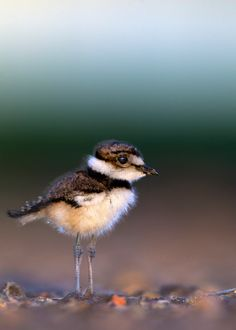 Killdeer chick, Charadrius vociferus by verdon World's Biggest, My Face Book, Wild Birds, Tat, Fun Stuff, Photo Galleries, Gemstones, Gallery, Places
