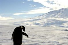 A foraging Emperor penguin preens on snow-covered sea ice around the base of the active volcano Mount Erebus, near McMurdo Station, the largest U.S. Science base in Antarctica, December 9, 2006.