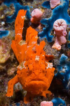 Frogfish: This peculiar fish belong to the anglerfish order, one that knows that rewards come to those who wait. Indeed, they are masters of the art of sitting, waiting and reeling in the catch. Underwater Creatures, Underwater Life, Ocean Creatures, Bizarre Animals, Fauna Marina, Beautiful Sea Creatures, Under The Ocean, Salt Water Fish, Water Animals