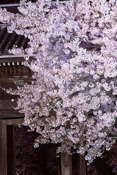 Night view of Cherry Blossoms in Negoro temple Wakayama