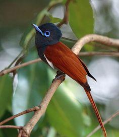 creatures-alive:  African Paradise-Flycatcher, Sakania, DRC by Nigel Voaden on Flickr.