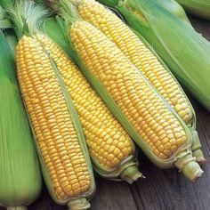 Sweet Corn Plants - F1 Swift