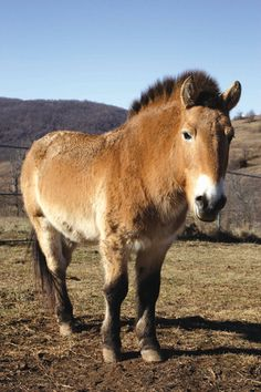 The Przewalski's Horse was extinct in the wild for over 30 years. Also known as the Asian Wild Horse and Mongolian Wild Horse, it is a t...