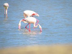 One of th most beautiful and interesting beaches in Sardinia. It's close to Cagliari, South of Sardinia. Flamingos are opposite to the beach and there is stunning view on the nature around. Stunning View, Most Beautiful, Traveling, Beaches, Nature, Animals, Viajes, Naturaleza, Animales