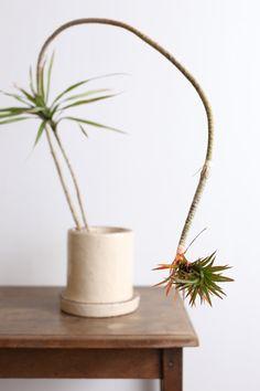 ドラセナ・コンシンネ・パメラ / Dracaena marginata cv.'Pamela'