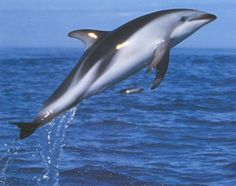 Dusky Dolphin near New Zealand