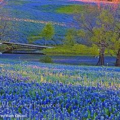My mom and I used to take drives to see the Texas Blue bonnets in Fredericksburg area. miss those drives with my mom. Paint blue bonnets in paradise, mom:) Palette Verte, Only In Texas, Texas Bluebonnets, Loving Texas, Seen, Felder, Texas Travel, Texas Hill Country, Blue Bonnets