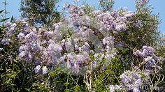 Wisteria blossoms growing on olive trees, taken in spring near Agios Spiridon beach (St, Spiridon), north-east Corfu, Greece.