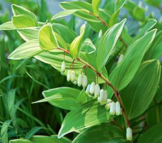 white gardens Polygonatum odoratum Variegatum This lovely blooms in May and June with small white flowers, usually in pairs, that dangle beneath the variegated leaves. White Flower Farm, Small White Flowers, Shade Flowers, Green Flowers, White Gardens, Small Gardens, Farm Gardens, Shade Garden Plants, Solomons Seal