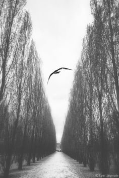 """""""Forlorn"""" - Black and White Landscape Photography by Lynn Langmade - a bird flying in silver bushes in foggy Versailles gardens in Paris, France"""